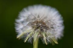 Dandelion closeup Royalty Free Stock Photography