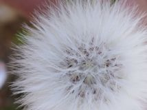 dandelion closeup unfiltered detailed stock photo