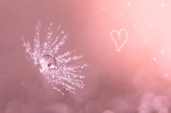 Dandelion closeup with water drops. Dandelion on a pink background with heart. Royalty Free Stock Photo