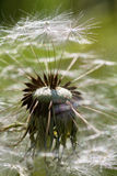 Dandelion closup with seeds. Ready to flight Stock Images