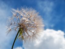 Dandelion and clouds Royalty Free Stock Photo