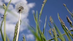 Dandelion and cocksfoot herb close-up on a background of blue sky. Shooting movies HD. Static camera. Dandelion close-up on a background of blue sky. Shooting stock video footage
