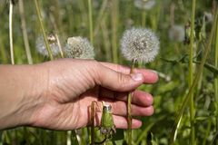 Dandelion collecting Stock Photography