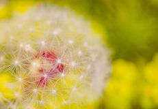 Dandelion at colorful background Stock Photo