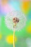 Dandelion on colorful background Stock Image
