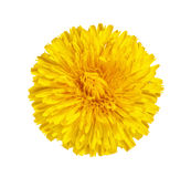 The dandelion, coltsfoot, yellow flower with yellow stamens Royalty Free Stock Photos
