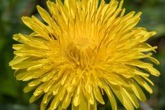 Dandelion& comum x28; Officinale& x29 do Taraxacum; cabeça no sol imagens de stock