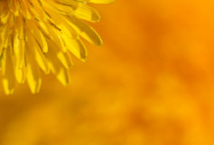 Dandelion corner macro Stock Photos