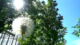 Dandelion and cottonwood fluff in the urban sky stock footage