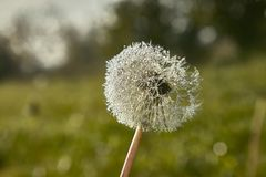 Dandelion covered with dewy drops Stock Photos