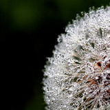 Dandelion covered with a drops Royalty Free Stock Photo