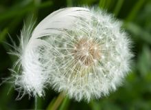 Dandelion covered by feather Stock Photography