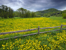 Dandelion covered field. Green field of dandelions in the mountains of Vermont, USA Royalty Free Stock Photo