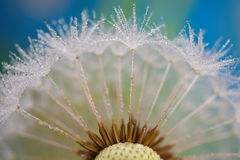Dandelion. Covered with tiny droplets of water Royalty Free Stock Photos