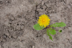 Dandelion on cracked earth Royalty Free Stock Photography