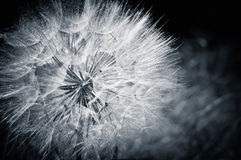 The dandelion. Cyan toned photo Stock Photography
