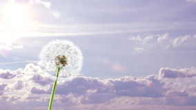Dandelion. 3d animation on time-lapsed violet sky background stock illustration