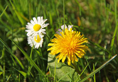 Dandelion and daisies. Bright yellow dandelion and some white daisies in spring Stock Photography