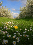 Dandelion, Daisy, Apple Tree. Dandelion and daisys on grass with blooming apple trees Stock Images
