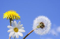 Dandelion and daisy flower Royalty Free Stock Photo