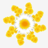 Dandelion and daisy flower Stock Photography