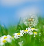 Dandelion and daisy flowers Stock Image