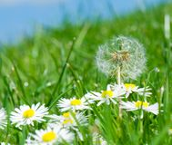 Dandelion and daisy flowers Stock Photos