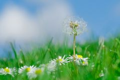 Dandelion and daisy flowers Stock Photography