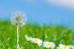 Dandelion in daisy flowers field Royalty Free Stock Photography