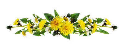 Dandelion and daisy flowers line arrangement. Isolated on white. Flat lay. Top view stock photos