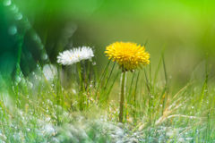 Dandelion and Daisy in the grass with the dew . Dandelion in the grass . Selective focus.