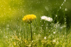 Dandelion and Daisy in the rain. Macro with beautiful bokeh.Selective focus Royalty Free Stock Photo
