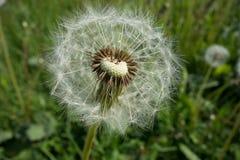Dandelion Dandelion fluff obrazy stock