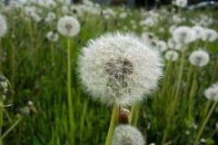 Dandelion Dandelion fluff zdjęcie royalty free