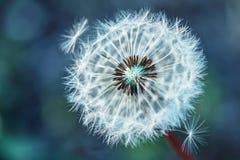 Dandelion. Dandelion fluff. Dandelion tranquil abstract closeup art background Stock Image