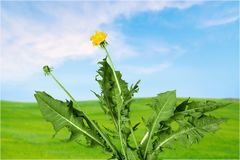 Dandelion. Root weed flower plant leaf white royalty free stock image