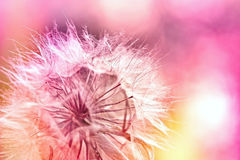 Dandelion - dandelion seeds Royalty Free Stock Images