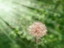 Dandelion - dandelion seeds Stock Image