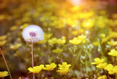 Dandelion - dandelion seeds and yellow flowers Royalty Free Stock Photography