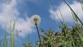Dandelion. In spring with blue sky stock video