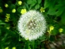 Dandelion. In the summer garden Stock Images