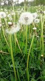 Macro details of a dandelions field royalty free stock images