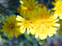 Dandelion. S about the river Volga Royalty Free Stock Photography