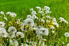 Dandelion, dandelions, Stock Image