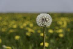Dandelion. In a Danish field royalty free stock photo