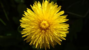 The dandelion  Royalty Free Stock Photography