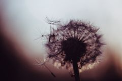 Dandelion in dark color royalty free stock photos
