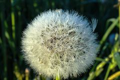 Dandelion at dawn royalty free stock photography