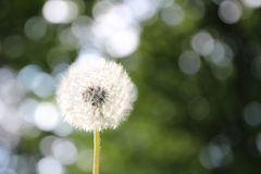 Dandelion on defocused background and bokeh Royalty Free Stock Photography