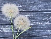 Dandelion delikatnego sezonu sceny lata antykwarska miękkość na drewnianym tle błachym Fotografia Royalty Free